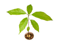Avocado plant Royalty Free Stock Photos