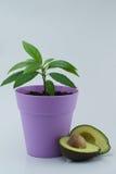 Avocado plant. And avocado slices on white background - houseplant Royalty Free Stock Photos