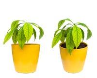 Avocado roślina Obraz Royalty Free