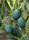 Avocado's. Hanging from a tree in a fruit-orchard Royalty Free Stock Photography