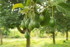 De boom van avocado's stock foto's