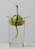 Avocado seed with new sprouting and roots. In a glass of water Stock Image