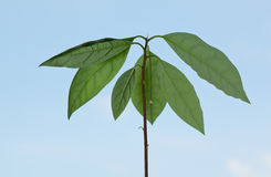 Avocado seedling over blue sky Stock Photos