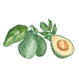 Avocado składa set odizolowywającego Fotografia Royalty Free