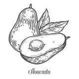 Avocado slice Vector hand drawn vector illustration. Tropical summer fruit engraved style. Detailed food drawing. Great for label, poster, print. Black  on Royalty Free Stock Photography