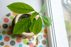 Avocado sprout in a pot Stock Images