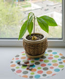 Avocado sprout in a pot Royalty Free Stock Photography