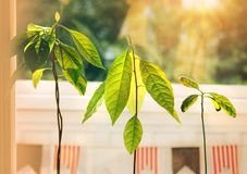 Avocado sprouts. Avocado young trees seedlings in pots on window sill. Green home plant. Different kinds royalty free stock photos