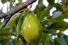Avocado tree Royalty Free Stock Image