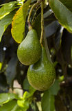 Avocado tree Royalty Free Stock Photo