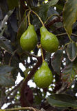 Avocado tree Stock Images
