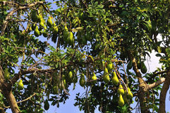 Avocado tree Stock Photography