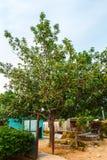 Avocado Tree Royalty Free Stock Photography