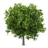 Avocado tree with avocados isolated on white royalty free illustration