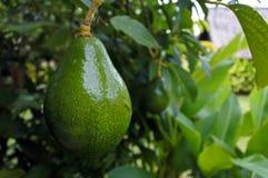 Avocado Tree background Royalty Free Stock Photography