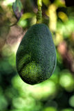 Avocado on tree Royalty Free Stock Image
