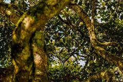 Avocado Tree Crown Stock Photography
