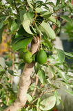 An avocado tree Stock Images