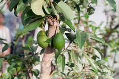 An avocado tree Royalty Free Stock Photos
