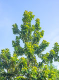 Avocado tree without fruits Royalty Free Stock Photography