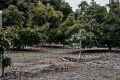 A young avocado tree surrounded by mature trees on a ranch. royalty free stock photo