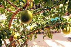 Avocado tree Royalty Free Stock Photo