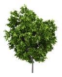Avocado tree isolated on white royalty free illustration