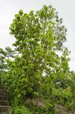 Avocado Tree With Mature Fruit. At the side of steps and reaching towards the cloudy sky is a tall evergreen avocado tree with mature green skin fruits hanging stock photo