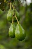 Avocado Tree Royalty Free Stock Images