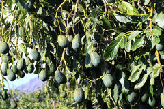 The avocado tree, Persea americana Stock Photo