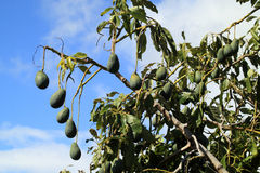 The avocado tree, Persea americana Stock Image