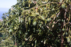 Avocado tree picture. Garden with fruits Royalty Free Stock Image
