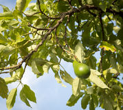Avocado Tree Stock Image