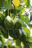 Avocado on tree Stock Photo