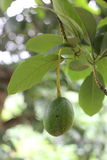 Avocado on the tree, thai fruit,thailand Stock Image
