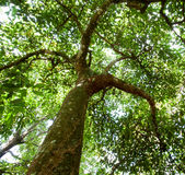 Avocado tree trunk and canopy Stock Photo