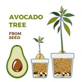 Avocado tree vector growing guide poster. Green simple instruction to grow avocado tree from seed. Avocado life cycle royalty free illustration