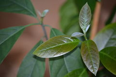 Avocado tree Stock Photos