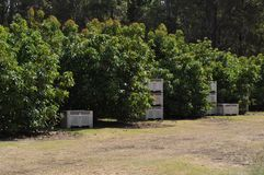 Avocado trees in an orchard with crates for storage Royalty Free Stock Photo