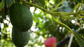 Avocado tropical fruit hanging at branch of tree in a plantation. Hass avocado tropical fruit hanging at branch of tree in agricultural plantation while harvest stock video footage
