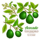 Avocado vector branches. Avocado branches vector set on white background Stock Images