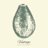 Avocado vector illustration  on background, hand drawn engraving ink sketch, vintage tropical fruit for design Royalty Free Stock Images