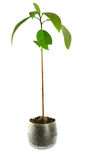 Avocadoanlage /isolated/ - Houseplant Lizenzfreies Stockfoto