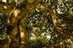 Avocadobaum stockbild