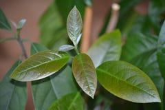 Avocadoboom Stock Foto's