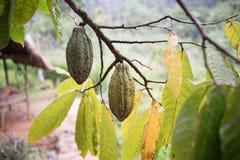 Avocadoboom in Kruidtuin Stock Foto