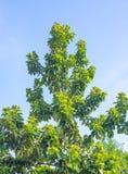 Avocadoboom zonder vruchten Royalty-vrije Stock Fotografie
