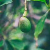 Avocadoobstbau auf einem Baum auf Oahu-Insel lizenzfreies stockbild
