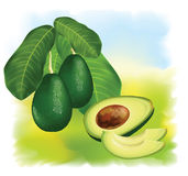 Avocados on a branch with leaves. Royalty Free Stock Photo