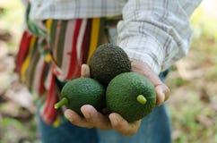 Avocados in der Hand Stockbild